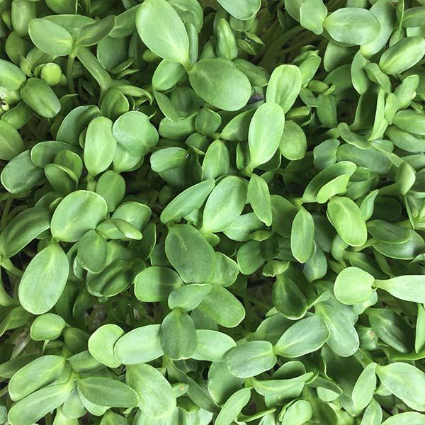 Truleaf Farm micro greens on sale in Oxfordshire