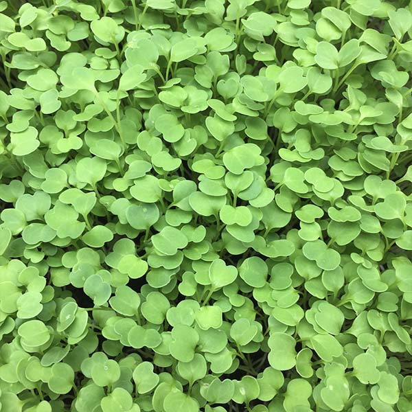 Truleaf Farm micro greens on sale in Oxfordshire