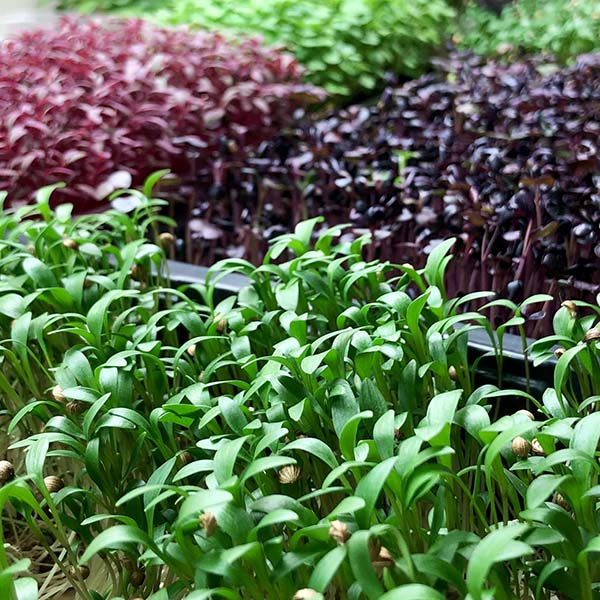Truleaf Farm microgreens