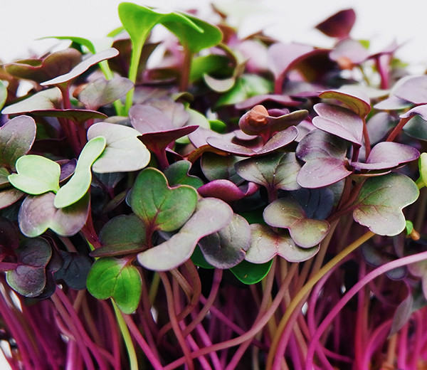 Radish Microgreen from Truleaf